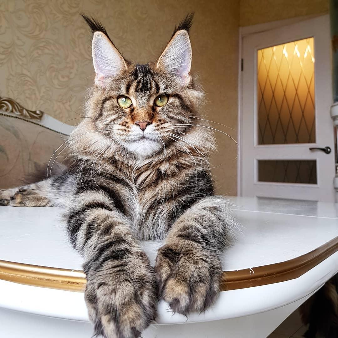 Порода кошек больших размеров
