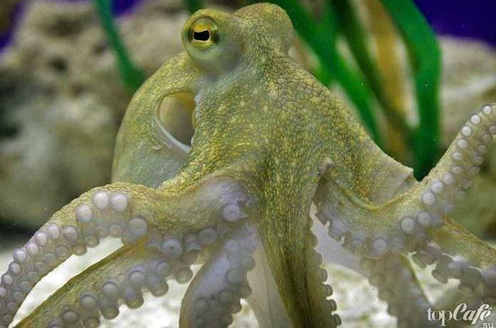Клюв осьминога фото