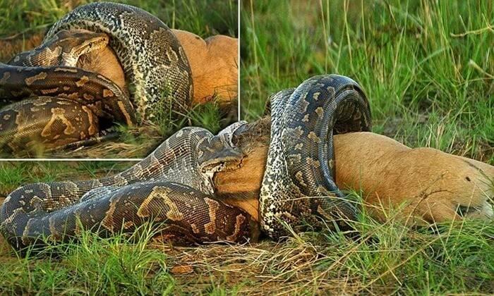 Самый большой подвид змей