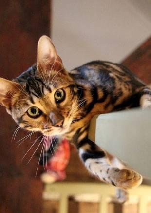 Азиатская леопардовая кошка фото