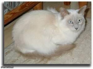 Тибетская кошка