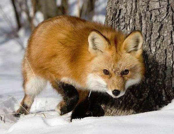 Животный мир сибири