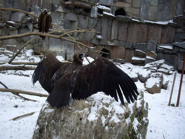 Самая большая птица россии